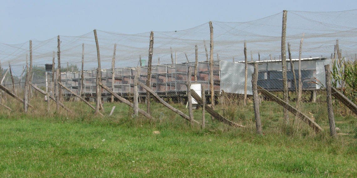 Parquet de ponte - reproduction faisan